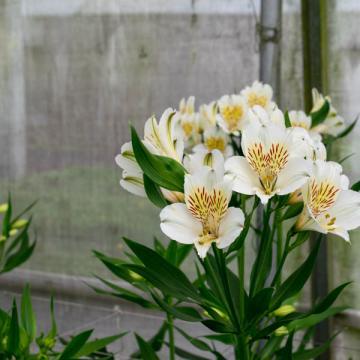 Alstroemeria Whistler flower