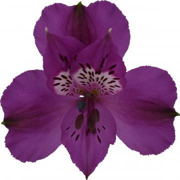 Alstroemeria Xanadu flower